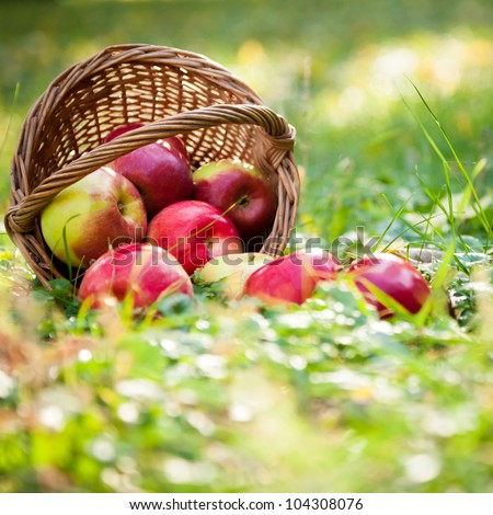 Basket full of fresh juicy apples scattered in a grass. Autumn harvest concept