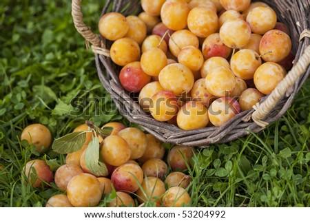 Basket full of fresh mirabelle plums