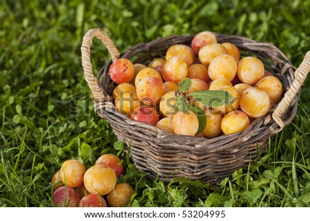 Basket full of fresh mirabelle plums