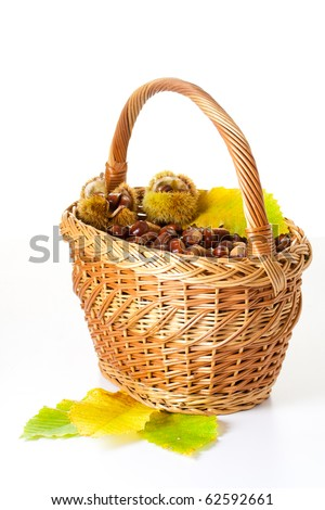 Basket full of freshly picked chestnuts (Castanea) with prickly shell isolated.