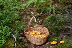 Basket full of freshly picked golden chanterelle mushrooms next to wild chanterelles in the forest. Photo taken in Sweden
