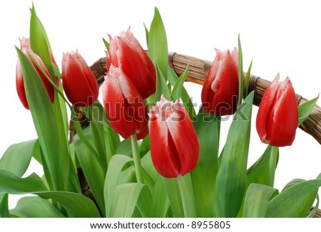 Basket of beautiful red fringed tulips just ready to open for spring.  Isolated on white background.  Close-up with shallow dof.