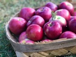 Basket of freshly picked Macintosh apples in basket resting on lawn.