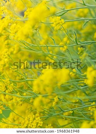 basket-of-gold, Felsen Steinkraut (alyssum saxatile) Stock fotó ©