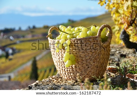 Basket of grapes. Lavaux region, Switzerland