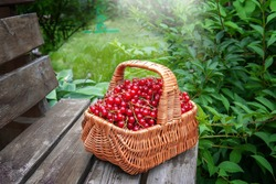 basket of ripe juicy red currants on the background of green leaves of the garden. The red currant berries were collected in a basket and left on the bench