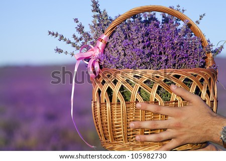 Basket with a lavender in men's hand purple lavender flowers - Sunset over a summer lavender field . Bunch of scented flowers in the lavanda fields of the French Provence near Valensole