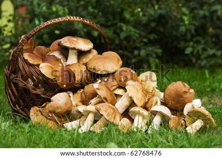 Basket with edible mushrooms. Boletus edulis.