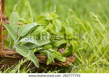 Basket with fresh herbs in herb garden