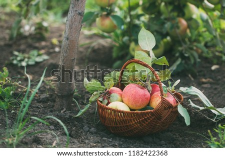 Basket with freshly picked apples in the garden. Organic food. Selective focus