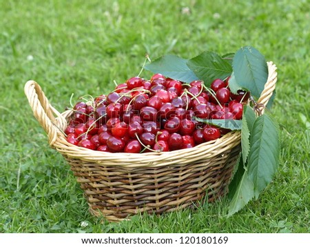 basket with picked cherries