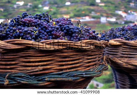 basket with purple grapes used for winemaking in Madeira