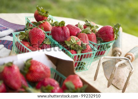 Baskets of Fresh Strawberries with Gardening Tools and Gloves Nearby.