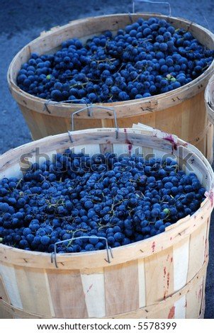 Baskets with blue red grapes after the harvest