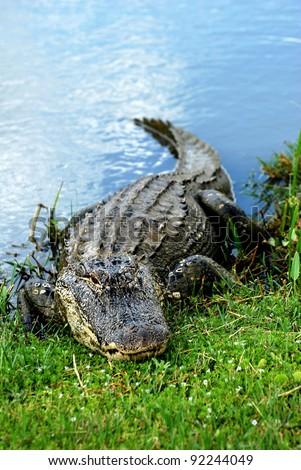 Basking American Alligator #92244049