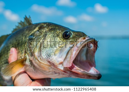 Bass Largemouth