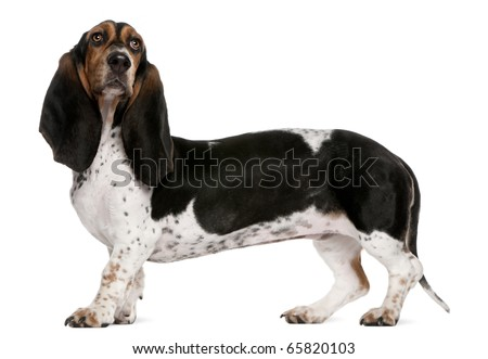 Basset Artesien Normand dog, 11 months old, standing in front of white background