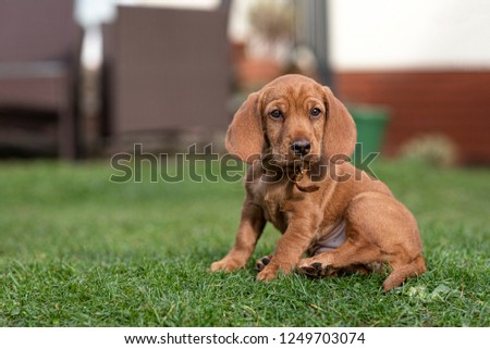 Basset Fauve de Bretagne puppy dog sat on the grass showing white of her belly Stock fotó ©