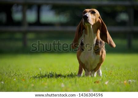 Basset Hound: a Basset Hound sitting in the evening sun #1436304596