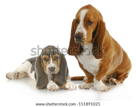 basset hound adult and puppy with reflection isolated on white background