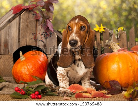 Basset Hound and pumpkin #153765488