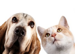 Basset hound and red kitten on white background