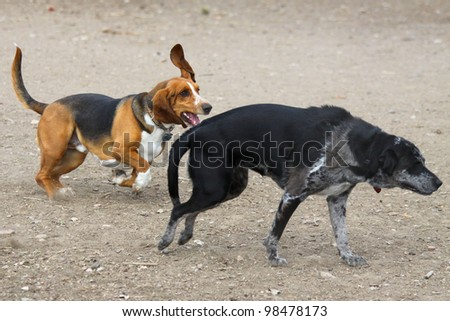 Basset Hound chases Catahoula Leopard Dog mix - having fun in off leash dog park.