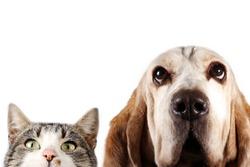 Basset hound dog and cat watching