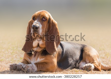 Basset hound dog portrait having a serious, yet funny cute look. #380228257