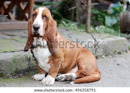 Basset hound dog portrait having a serious, yet funny cute look, domestic animal and friend #496358791