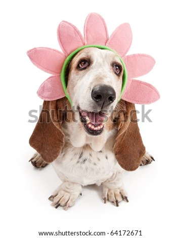 Basset Hound dog wearing a pink flower head band. Isolated on white.