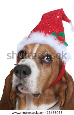 Basset hound dog wearing a red and green santa hat and looking unimpressed by it