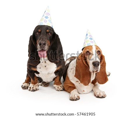 Basset Hound dogs wearing birthday hats with paw prints