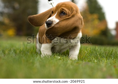 Basset Hound Ear\'s Blowing in the wind