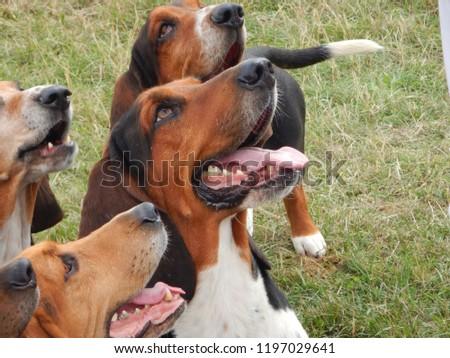 Basset Hound Hunting Dogs #1197029641
