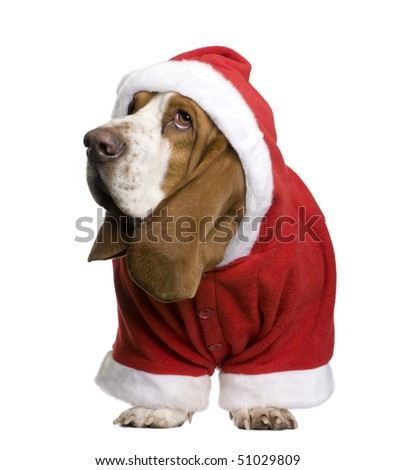 Basset hound in Santa coat, 2 years old, standing in front of white background