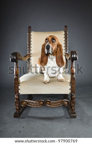 Basset hound isolated on grey background