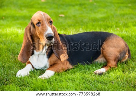 Basset Hound Laying on the Grass #773598268