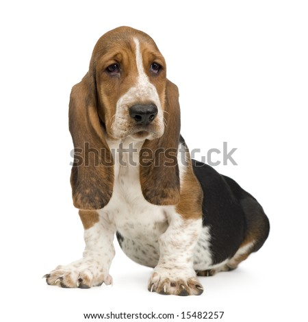 Basset Hound (3 months) in front of a white background