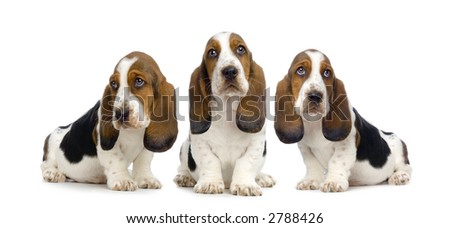Basset Hound Puppies in front of white background