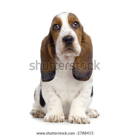 Basset Hound Puppy in front of white background