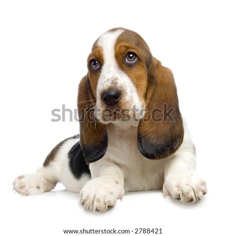 Basset Hound Puppy in front of white background