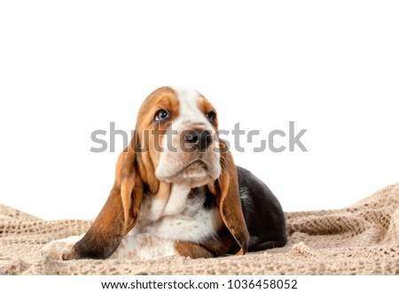 Basset hound puppy portrait #1036458052