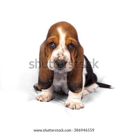 Basset hound puppy sits on a white background #386946559