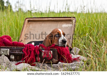 Basset hound puppy sits sitting in an old vintage suitcase in the field