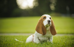 Basset Hound puppy sitting in the park