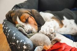 Basset Hound puppy sleeps in his bed, hugged the toy. Basset hound puppies.