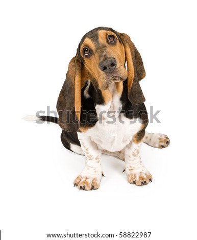 Basset Hound puppy tilting head. Isolated on white - stock photo
