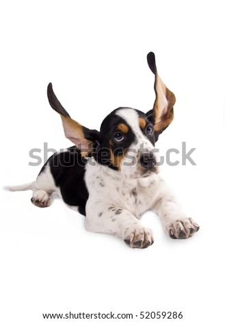 basset hound puppy with his ears flying