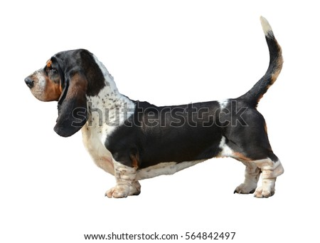 Basset Hound stand isolated on white background #564842497